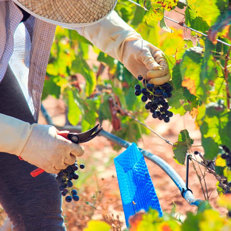 Agricultor cortando racimo uva